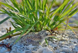 Baby bird in the sand & grass